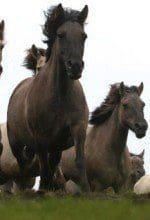 Die Dülmener Wildpferde im Merfelder Bruch