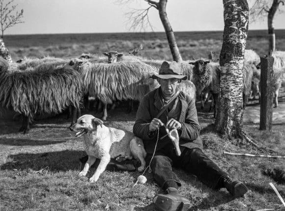 Strickender Schäfer unterwegs mit seiner Schafherde 1938. Bildarchiv: LWL-Medienzentrum für Westfalen