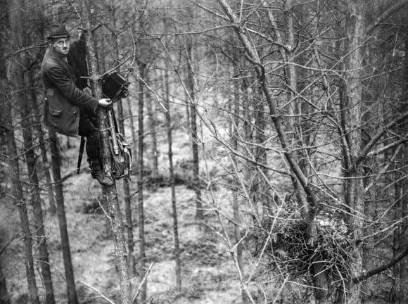 Hermann Reichling mit seiner Plattenkamera in einem Baum bei Aufnahmen an einem Greifvogelhorst. Bildarchiv: LWL-Medienzentrum für Westfalen