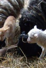 Ziemlich Schaf! Nachwuchs im Zoo Dortmund