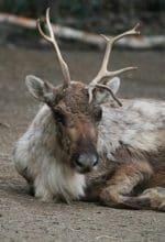 Dortmund: Rentierfütterung an Heiligabend im Zoo
