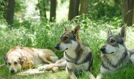 Wolfshund - Faszination des Ursprünglichen