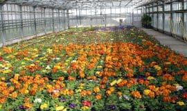 55.000 Blumen: Bunte Frühlingsboten in Siegen