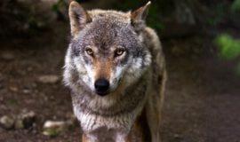 Wölfe in der freien Wildbahn – wird es zu viel?
