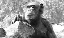 Trauer im ZOOM: Älteste Schimpansin ist tot