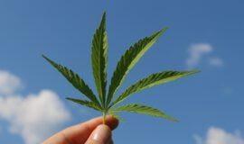 Pilotprojekte widmen sich dem Anbau von Cannabis