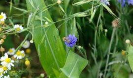 Artenvielfalt - MK spendiert Landwirten Blumensamen