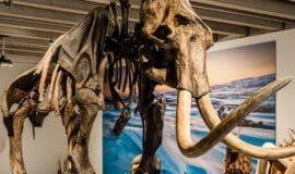 """Ahlener Mammut"" im Sauerlandmuseum"