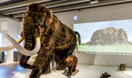 Sauerland-Museum: 43000 Jahre altes Mammut