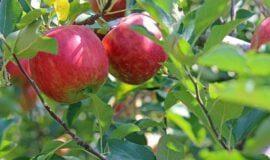 Apfelkultur im Münsterland freut den Kiepenkerl