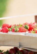 Erdbaisaison wartet mit süßen Früchten