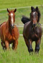 Weidegang vorbereiten: Pferde mögen's mager