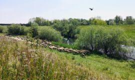 """""""Lippe-Schafe"""" grasen auf den Deichen in Dorsten"""