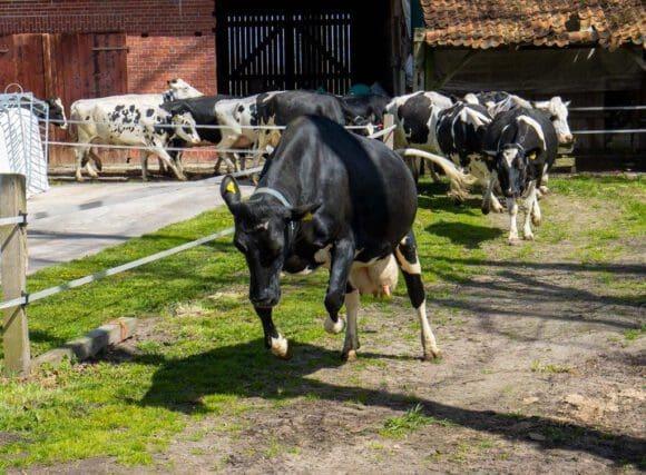 Weidehaltung ergibt beste Bio-Milch