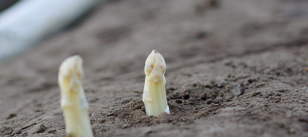 Königliches Gemüse aus Dorsten - ALLES SPARGEL